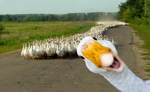 The Ducks are Coming